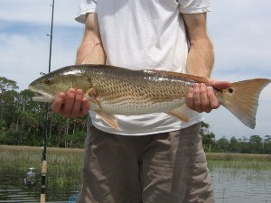 The first redfish of the day.
